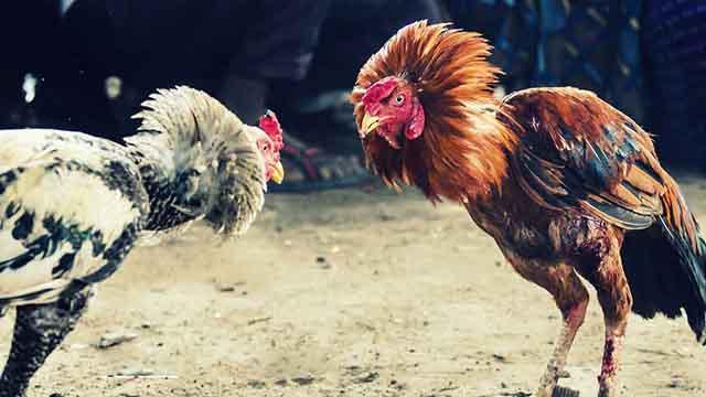 Agen Judi Sabung Ayam Resmi